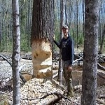 Mecosta county beaver trapping and removal services.