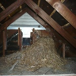 Greenville, MI starling nest in attic