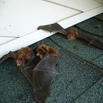 Ionia, MI Bats in attic is finally being removed.